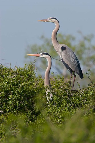 Great Blue Heron, pair in habitat, Texas art print by Larry Ditto / Danita Delimont for $40.00 CAD