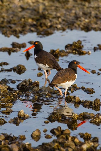 American Oystercatcher Pair On An Oyster Reef art print by Larry Ditto / Danita Delimont for $42.50 CAD