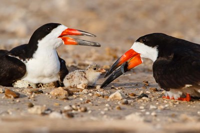 Black Skimmers And Chick art print by Larry Ditto / Danita Delimont for $42.50 CAD