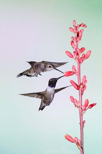Two Black-Chinned Hummingbirds Feeding art print by Larry Ditto / Danita Delimont for $42.50 CAD