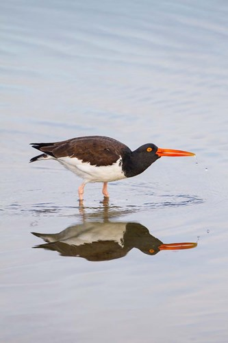 American Oystercatcher Drinking art print by Larry Ditto / Danita Delimont for $42.50 CAD