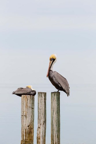 Brown Pelicans Resting On Piling art print by Larry Ditto / Danita Delimont for $42.50 CAD