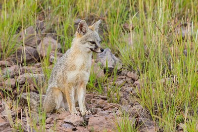 Gray Fox On A Hillside art print by Larry Ditto / Danita Delimont for $42.50 CAD