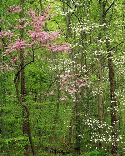 Eastern Redbud and Flowering Dogwood, Arlington County, Virginia art print by Charles Gurche / Danita Delimont for $37.50 CAD