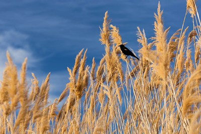 Red-Winged Blackbird On Ravenna Grass art print by Brent Bergherm / Danita Delimont for $42.50 CAD