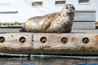Harbor Seal  Out On A Dock art print by Trish Drury / Danita Delimont for $47.50 CAD