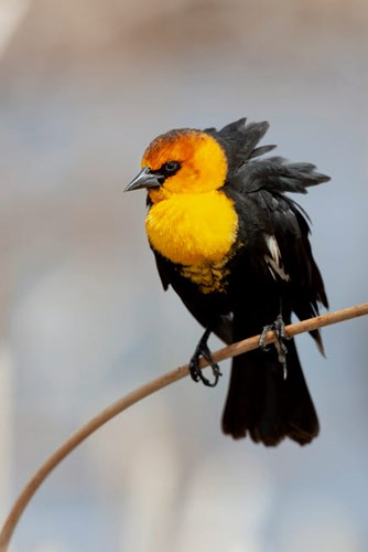 Yellow-Headed Blackbird Perched On A Reed art print by Ellen Goff / Danita Delimont for $42.50 CAD