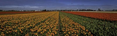 Tulip Field art print by Duncan for $38.75 CAD