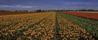 Tulip Field Crop art print by Duncan for $46.25 CAD