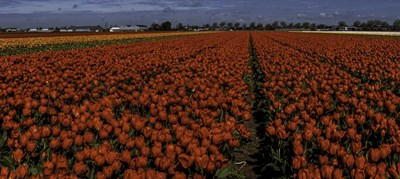 Tulip Field 2 Crop 2 art print by Duncan for $35.00 CAD
