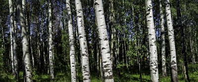 Birch Trees art print by Duncan for $47.50 CAD