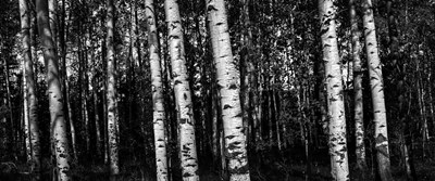 Birch Trees Black & White art print by Duncan for $47.50 CAD