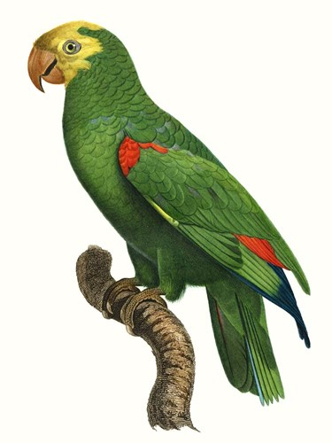Parrot of the Tropics III art print by Jacques Barraband for $133.75 CAD
