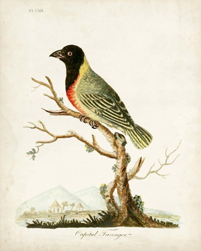 Capital Tanager art print by John Latham for $53.75 CAD