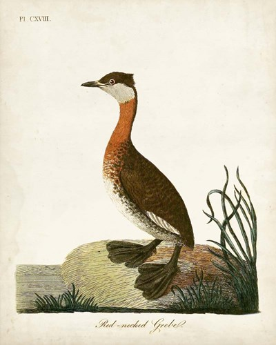 Red-Necked Grebe art print by John Latham for $53.75 CAD