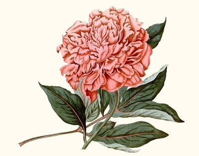 Peony Blush II art print by Edward S. Curtis for $78.75 CAD