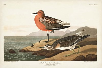 Pl. 315 Red-breasted Sandpiper art print by John James Audubon for $60.00 CAD