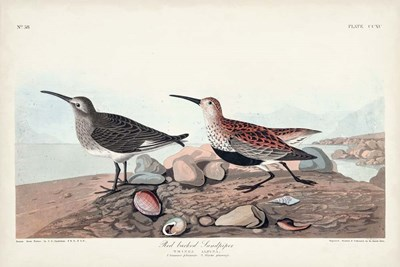 Pl. 290 Red-backed Sandpiper art print by John James Audubon for $60.00 CAD
