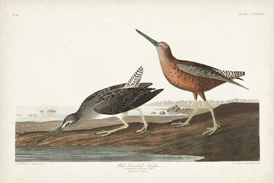 Pl. 335 Red-breasted Snipe art print by John James Audubon for $60.00 CAD