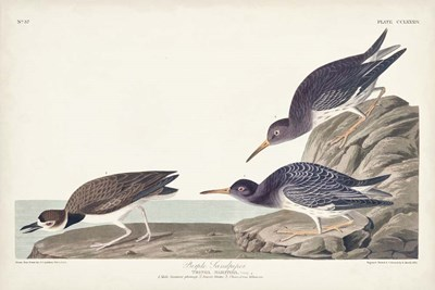 Pl. 284 Purple Sandpiper art print by John James Audubon for $60.00 CAD