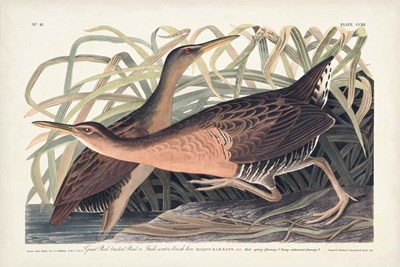 Pl. 203 Great Red-breasted Rail art print by John James Audubon for $60.00 CAD