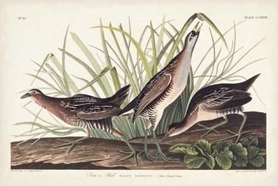 Pl. 233 Rail art print by John James Audubon for $60.00 CAD