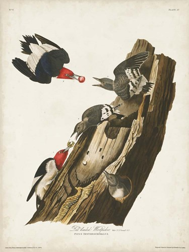 Pl. 27 Red-headed Woodpecker art print by John James Audubon for $63.75 CAD