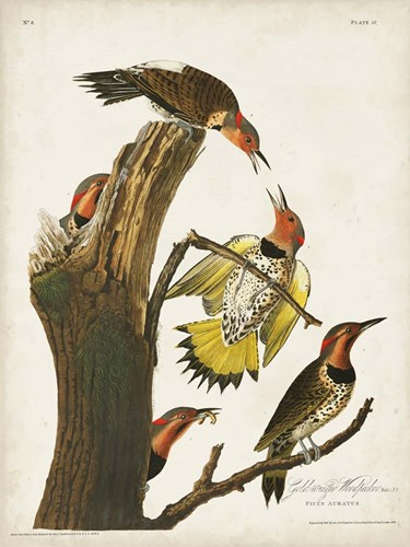 Pl. 37 Gold-winged Woodpecker art print by John James Audubon for $63.75 CAD