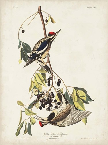Pl. 190 Yellow-bellied Woodpecker art print by John James Audubon for $63.75 CAD