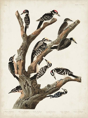 Pl. 417 Marias Woodpecker art print by John James Audubon for $63.75 CAD