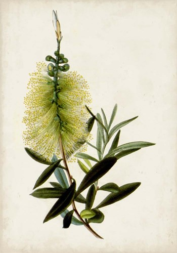 Bottle Brush Flower IV art print by John Miller for $48.75 CAD