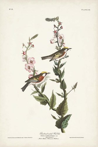 Pl. 59 Chestnut-sided Warbler art print by John James Audubon for $60.00 CAD