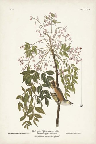 Pl. 63 White-eyed Flycatcher art print by John James Audubon for $60.00 CAD