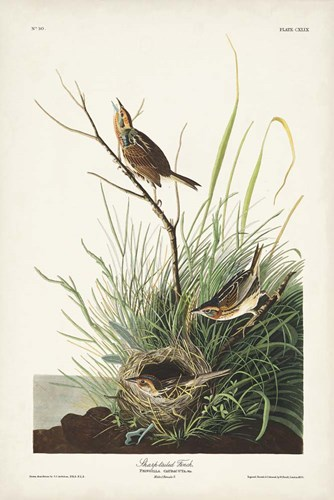 Pl. 149 Sharp-tailed Finch art print by John James Audubon for $60.00 CAD