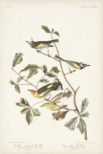 Pl. 414 Golden-winged Warbler art print by John James Audubon for $60.00 CAD
