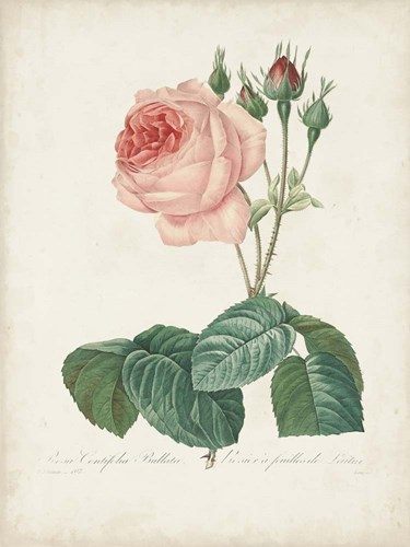 Vintage Redoute Roses I art print by Pierre-Joseph Redoute for $81.25 CAD