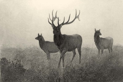 American Elk art print by Neil Gower for $26.25 CAD