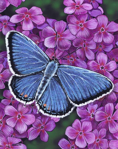Eastern Tailed Blue Butterfly art print by Marilyn Barkhouse for $35.00 CAD