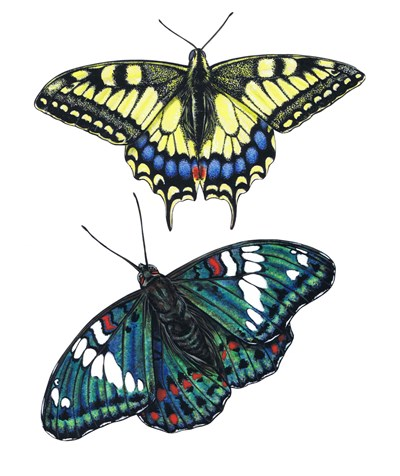 Yellow Swallow Tail and Gaudy Baron Butterflies art print by Marilyn Barkhouse for $65.00 CAD