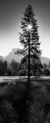 Sun Behind Pine Tree, Half Dome, Yosemite Valley, California, USA art print by Panoramic Images for $86.25 CAD