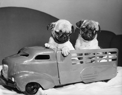 Pug Puppies Sitting In Back Of Toy Truck art print by Vintage Images for $66.25 CAD