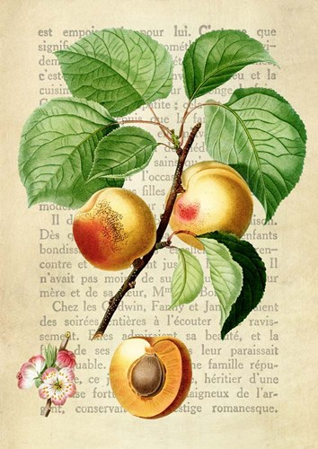 Apricot, After Redoute art print by Remy Dellal for $40.00 CAD