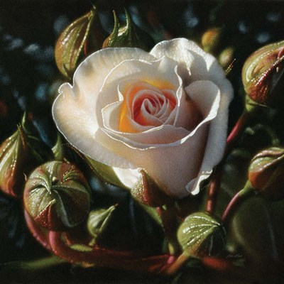 White Rose - First Born art print by Collin Bogle for $48.75 CAD