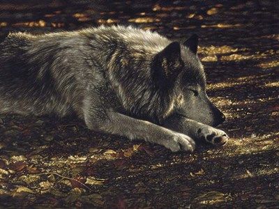 Resting Wolf art print by Collin Bogle for $41.25 CAD