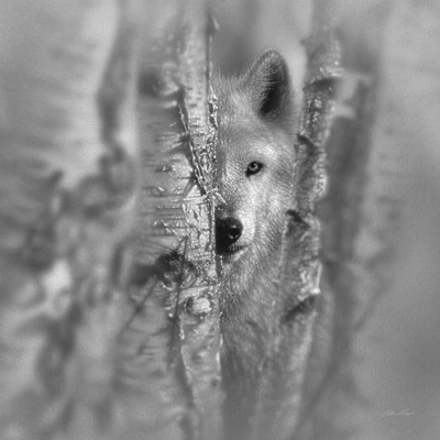 Wolf - Focused - B&W art print by Collin Bogle for $48.75 CAD