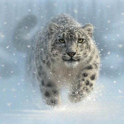 Snow Leopard - Snow Ghost art print by Collin Bogle for $48.75 CAD