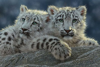 Snow Leopard Cubs art print by Collin Bogle for $43.75 CAD