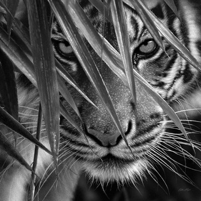 Tiger - Blue Eyes Bamboo - B&W art print by Collin Bogle for $48.75 CAD