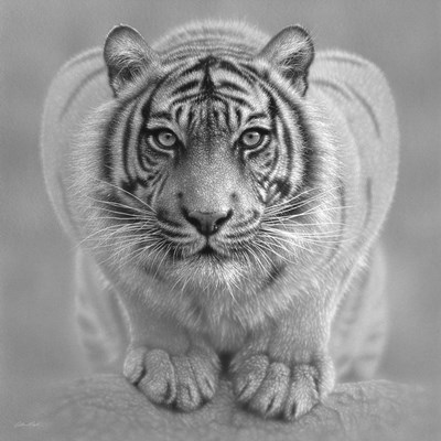White Tiger - Wild Intentions - B&W art print by Collin Bogle for $48.75 CAD