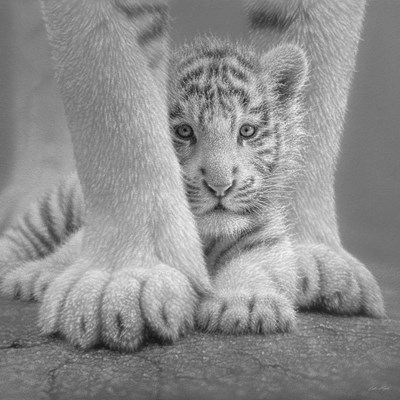 White Tiger Cub - Sheltered - B&W art print by Collin Bogle for $48.75 CAD